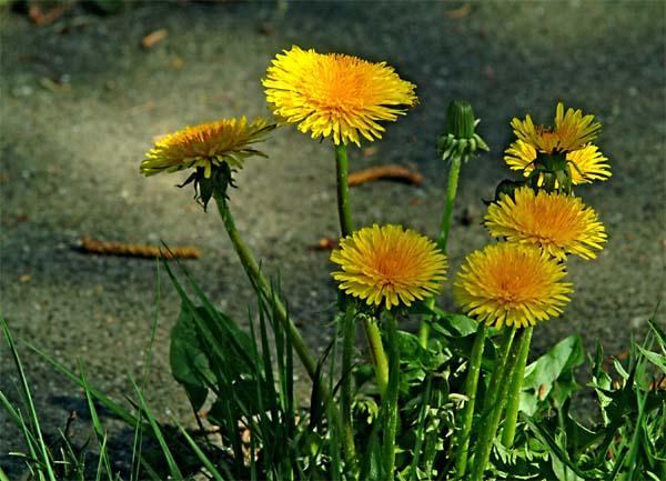 http://www.gardnerian.de/pflanzen/loewenzahn1.jpg